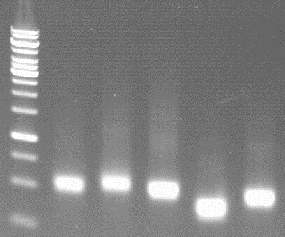 in vitro synthesised dsRNAs on a agarose gel